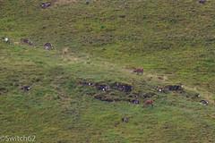 Schotland 2017-47 (Switch62) Tags: scotland 2017 mull edelhert red deer