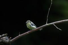 Parus caeruleus, la mésange bleue (blue tit). (chug14) Tags: animalia aves paridae paruscaeruleus bluetit mésangebleue