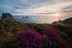 Heather on the Cornish coast (T_J_P) Tags: cornwall carngloose cliffs coast coastal coastline flower heather sunset rocls light sun clouds
