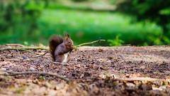 Sciurus vulgaris 1 (Meg4mi) Tags: vert green nature animals animal red squirrel sciurus vulgaris pentax pentaxart k1 55300