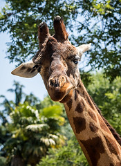 Curious Giraffe (Giovanni Piero Pellegrini) Tags: giraffe giraffa mammal nature animal wildlife wild neck no person zoo head portrait outdoors tree long tall grass park cute large
