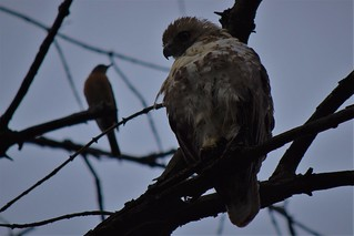 Red-tailed hawk with harassing robin behind
