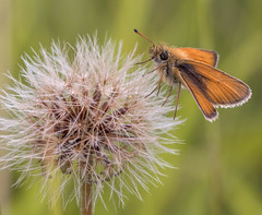 """Tippy toe..."" (trevorwilson1607) Tags: essex skipper thymelicuslineola butterfly lepidoptera dukesboxhill surrey hillside countryside outdoors olympusphotostuff 400thsec f63 iso250 handheld flickrsbest"
