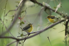 Olive-backed Sunbird(Juve) (MEphotog) Tags: singapore sg olive backed sunbird wild birds punggol