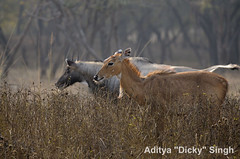ADS_000007593 (dickysingh) Tags: wild india animal outdoor wildlife aditya antelope ranthambore singh ranthambhore dicky nilgai adityasingh ranthamborebagh theranthambhorebagh wwwranthambhorecom