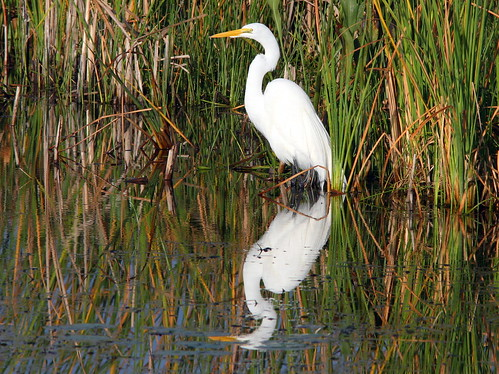 Great Egret 20091227