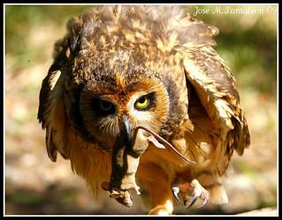 5-EL GLADIADOR!!!!Orgulloso y desafiante por haber vencido a su enemigo.Lechuza de Sabana-Asio flammeus-Short-eared Owl.San Fco de Macoris, Rep.Dom.
