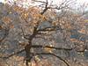 le quercie dalle foglie dorate