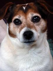 Cosy Coco (annicariad) Tags: wales eyes cymru elderly jackrussell dogoflove annicariad cosycoco