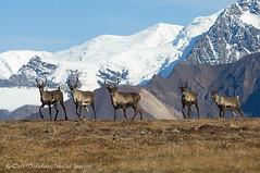 Woodland caribou, Wrangell - St. Elias National Park and Preserve, Alaska. (Skolai-Images) Tags: animals wildlife caribou woodlandcaribou wrangellsteliasnationalparkandpreserve alaskacarldonohue2009 chisanaherd chitistonepass