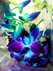 Singapore Orchid (Monique Barber) Tags: blue plant orchid flower green beautiful asian spring singapore aqua asia pretty purple turquoise exotic tropical eastern catchycolorsblue catchycolorspurple