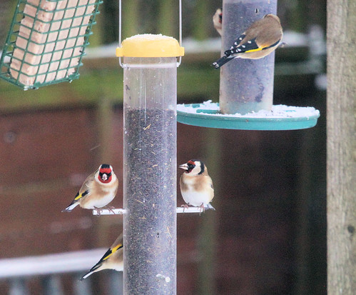 Goldfinches 5