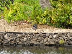Blue Heron? (N + G) Tags: hawaii maui makena