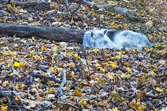 DSC_2188 (thi.g) Tags: schönbrunn wood sleeping leaves zoo nikon wolf thig d90 thilogierschner