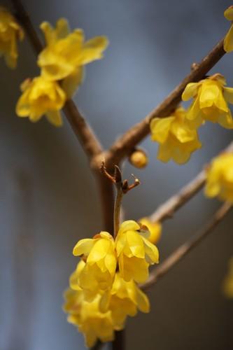 蝋梅 Chimonanthus praecox