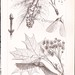1887 Maple Tree Varieties. Victorian Era Botanical Illustration