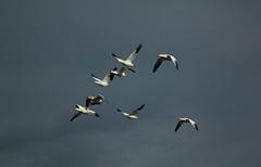 68EV0334 (sgbaughn) Tags: geese goose snowgeese snowgoose