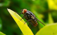Macro  Mosca Varejeira (Guilherme Scholz) Tags: macro digital sony mosca varejeira h50 mundodosinsetos guischpor1