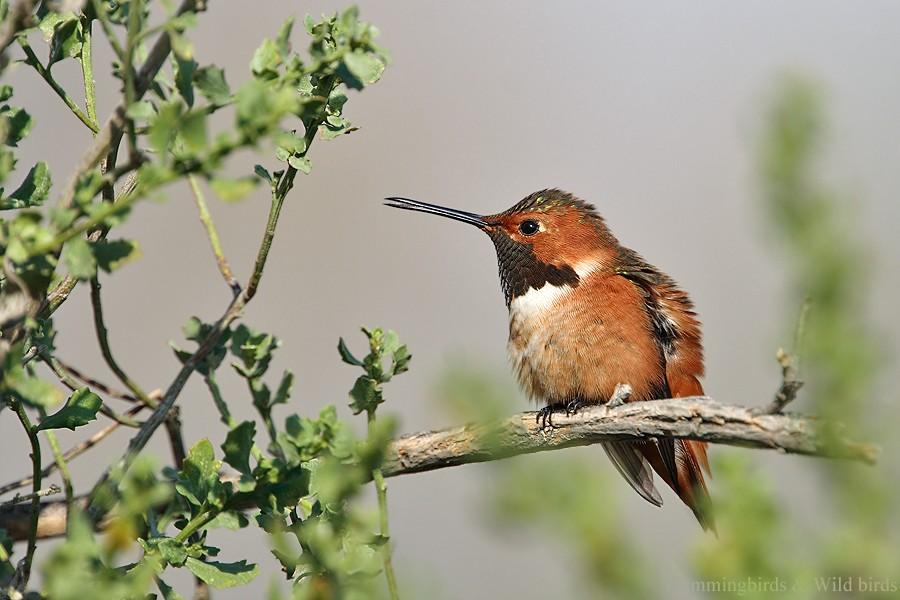 Allen's Hummingbird 01101-106