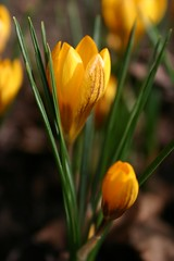 Crocus4998 (Viveka's photos) Tags: crocus gul krokus vr