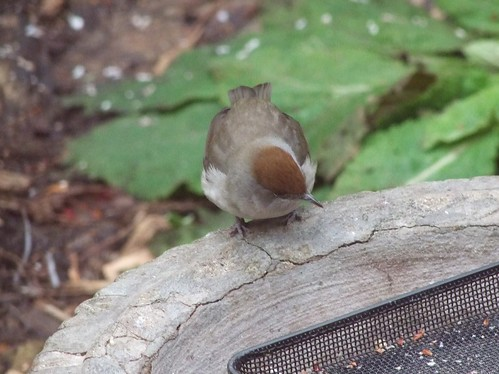Blackcap (female) (3)