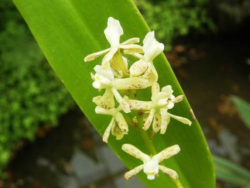 orquidea 9