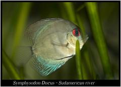 Symphysodon Discus_800_01 (Bruno Cortada) Tags: malawi marino mbunas cclidos sudafricanos tanganyica