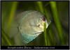 Symphysodon Discus_800_01 (Bruno Cortada) Tags: malawi marino mbunas cíclidos sudafricanos tanganyica