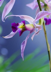 Laelia anceps Linfl. (nobuflickr) Tags: orchid flower nature japan kyoto searchthebest explore flowerotica thekyotobotanicalgarden excellentsflowers awesomeblossoms laeliaancepslinfl