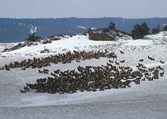 Taking Refuge (Ray and Anne) Tags: travel winter nature animal outdoors colorado wildlife fortcollins wyoming elk mountmoran herd laramie