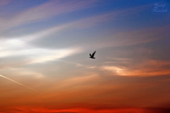 Bird of freedom -   (Yousef Malallah) Tags: bird beautiful wonderful dawn freedom kuwait  yousef          malallah