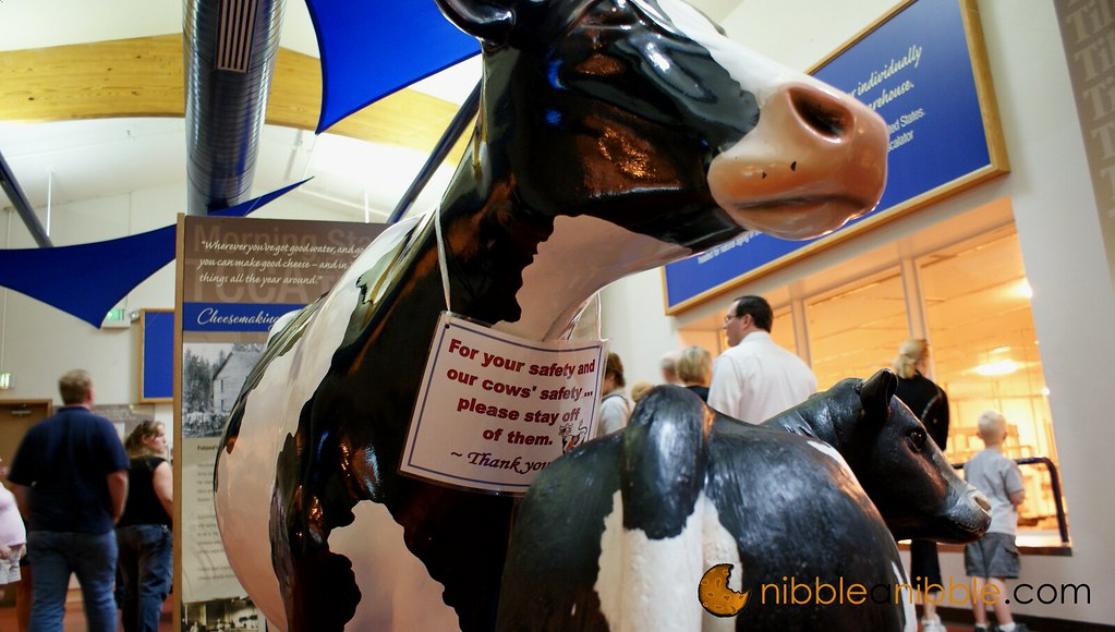 Tillamook cows