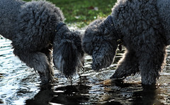 Do You See It? (The Pack) Tags: dogs wet water silver puddle mercury tag hunting poodle ripples standard wading searching teamwork standardpoodle 85mmf14 thepack:a=1