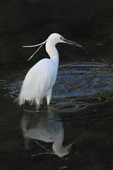 Garzetta nel Fiumicello (johnny XXIII & francy VI) Tags: reflection bird heron water airone garzetta piovedisacco fiumicello canoneos7d canonefs55250is dragondaggerphoto magicunicornverybest