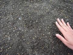 鳳林自然農田 川口由一自然農法的秧田 稻子育苗- 調整稻穀間距