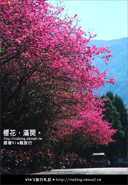 【九族櫻花季】櫻花滿開!最浪漫的九族文化村櫻花季2