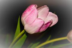 IMG_5328 (NadineVdg) Tags: tulp sfeerbloemen