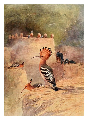 001-Abubilla-Egyptian birds for the most part seen in the Nile Valley (1909)- Charles Whymper