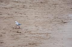 Seagull (Sleeman Huang) Tags: sea beach seagull lorne