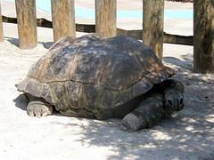 Gatorland 08 (Tiger_Jack) Tags: orlando gatorland animals tortoise zoo zoos itsazoooutthere zoosofnorthamerica