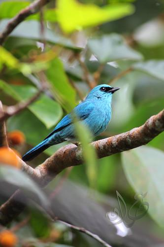 Verditer Flycatcher (Eumyias thalassina) | Sambar Ranting