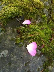 mossy petals @ arboretum seattle