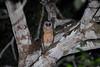 Sulawesi Masked Owl (Tyto rosenbergii) on the Togian Islands (Bram Demeulemeester - Birdguiding Philippines) Tags: indonesia sulawesi owls tytorosenbergii sulawesimaskedowl togianislands bramdemeulemeester