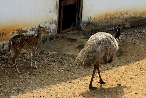 Kolhapur Shree Chhatrapati Shahu Museum Emu