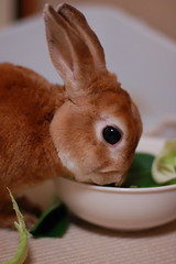 DSC_4807 (choimakko) Tags: rabbit bunny