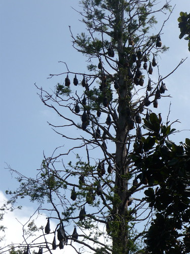 Jon's Visit: Bat tree at the Sydney Botanical Gardens