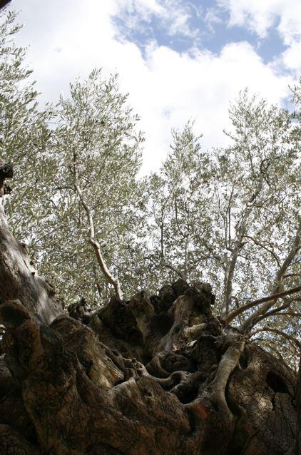 Vecchio ulivo