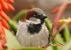 [フリー画像] [動物写真] [鳥類] [野鳥] [雀/スズメ]       [フリー素材]