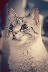 maomao. (Alli Jiang) Tags: pet color cute green love beautiful animal cat canon vintage fur polaroid photography eos 350d furry feline blueeyes kitty indoor cutie processing meow lovely tone pur maomao mew miaow purrr bestofcats allijiang