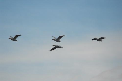 Pelícanos en vuelo